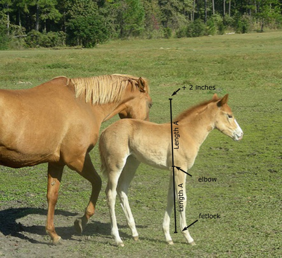 estimate the mature height of a foal horse lover s math
