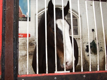 Monty the Shire horse