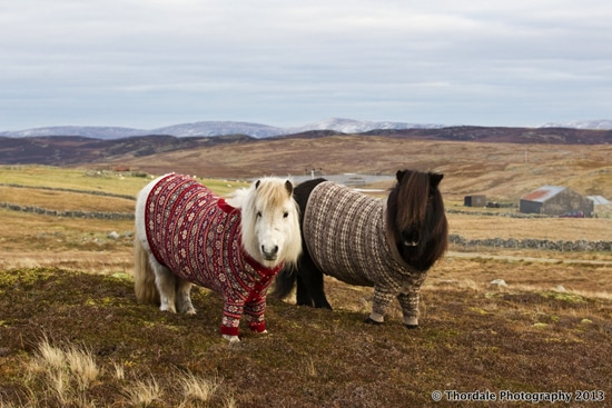 Shetland ponies Fivla and Vitamin model handmade wool sweaters at the Thorndale Shetland Driving Centre in the Shetland Islands of Scotland.