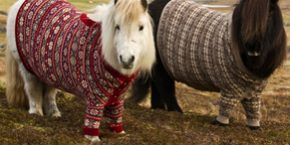 bcc48c02b4 Shetland ponies Fivla and Vitamin model handmade wool sweaters at the Thorndale  Shetland Driving Centre in