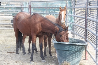 Wild horses drinking water in temporary holding pen.