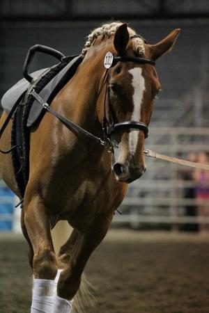 Belgian vaulting horse