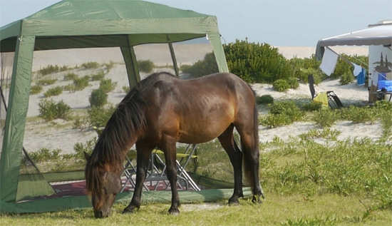 Assateague campsite and pony