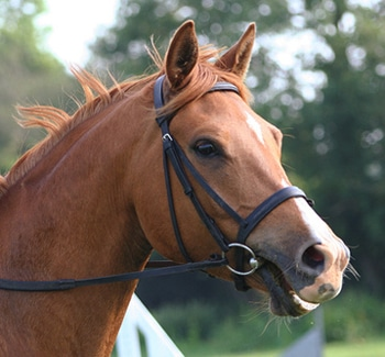 horse wearing English bridle
