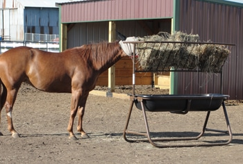 A test horse eating out of the hayrack feeder.
