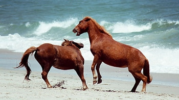 pony stallions fighting on beach