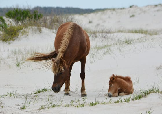 Assateague foals