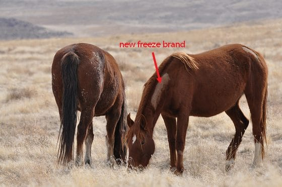 blm mustang brand