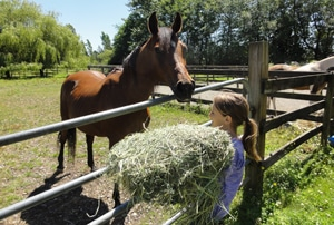 feeding hay to horses
