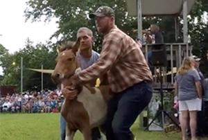 chincoteague island pony auction 2017