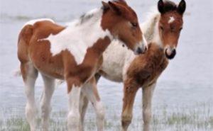 Assateague Island foals